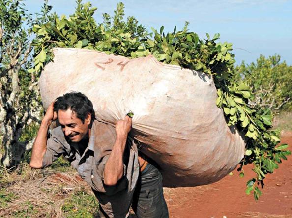 Yerba mate: tareferos sin mínimas condiciones de subsistencia